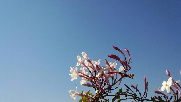 【水色の空を見上げるジャスミンの花】