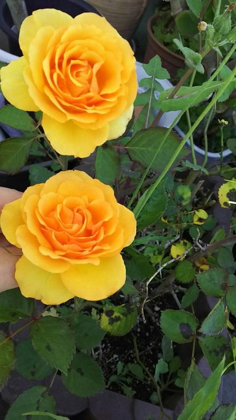 ミーママ家の屋上のバラ1