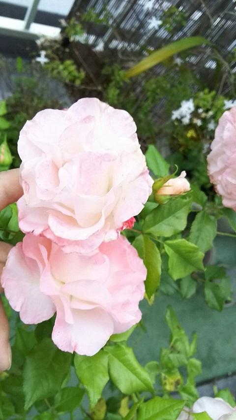 ミーママ家の屋上のバラ2