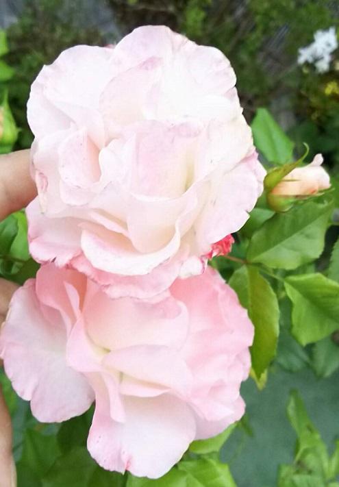 ミーママ家の屋上のバラ5