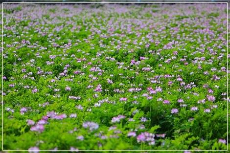 近所の蓮華畑に朝ん歩~