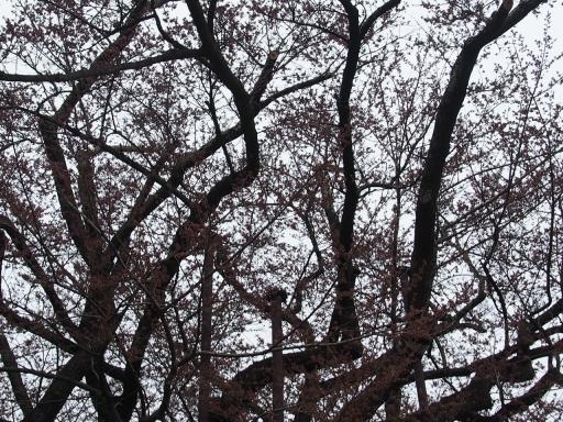 20160410・神代桜1