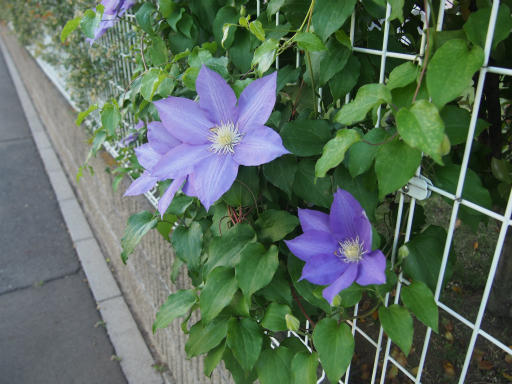 20160515・近所散歩植物3・テッセン