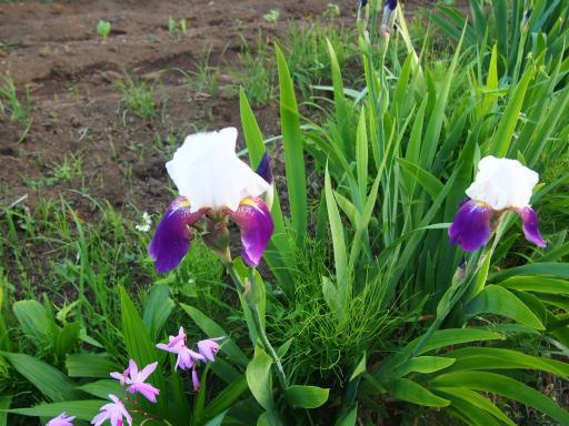 20160515・近所散歩植物7・ニオイリリス