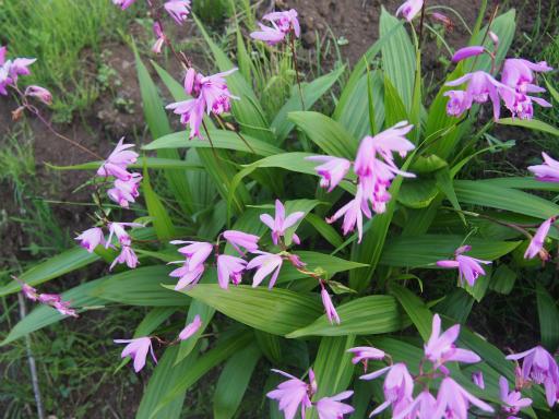 20160515・近所散歩植物6・シラン