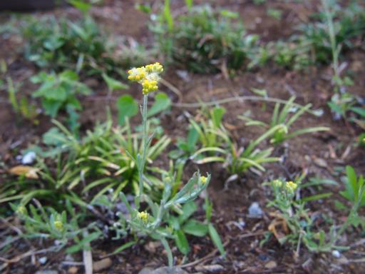 20160521・早朝散歩植物05・ハハコグサ
