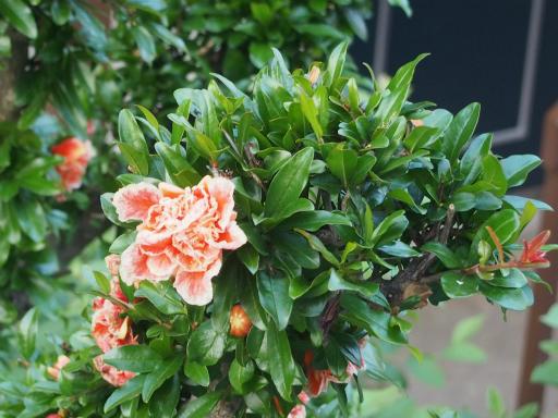 20160521・早朝散歩植物12・バラ?