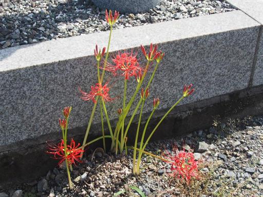 20160925・墓参り植物14・ヒガンバナ