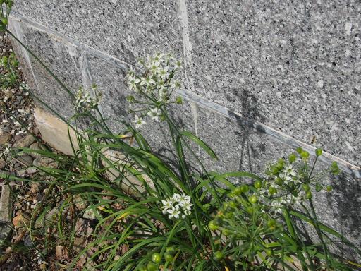 20160925・墓参り植物13・ニラ