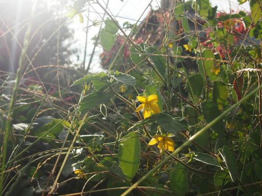 20160925・墓参り植物23・カラスノゴマ