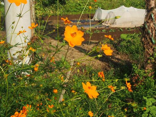 20160925・墓参り植物19・キバナコスモス