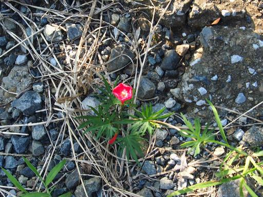 20161002・荒幡富士から狭山湖植物09・モミジバルコウソウ