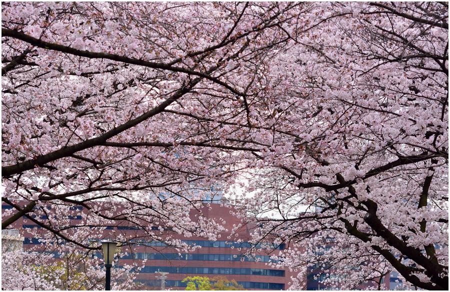 大阪城 桜・助手2