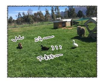 羊の国のビッグフット「猫vsアヒル」5