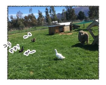 羊の国のビッグフット「猫vsアヒル」6