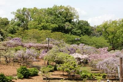 横須賀しょうぶ園の藤の花
